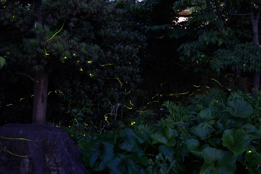 唐人町にある妙法寺の観蛍会での、夜に舞うゲンジボタルの光です。
