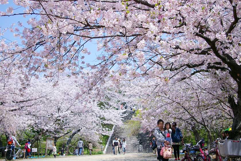 福岡市の西公園の桜並木です。桜は満開です。花見の人が歩いています。