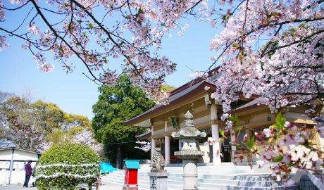 福岡市の西公園にある光雲神社の本殿です。中央、本殿手前に狛犬、石灯籠があります。上部および右側は満開の桜です。