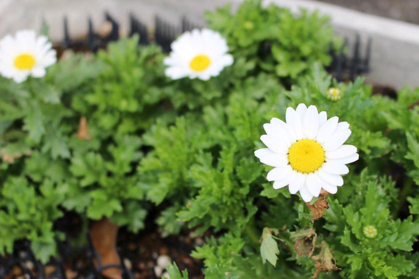 福岡市中央区の当仁公民館の入り口にノースポールが咲いています