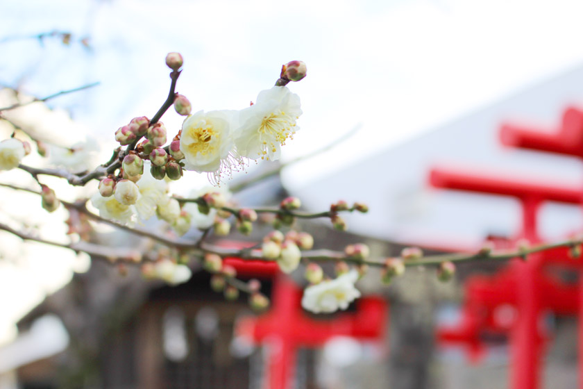 八橋神社境内に咲いている梅の花です。